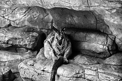 Photograph - Rock Wallaby In Black And White  by Miroslava Jurcik