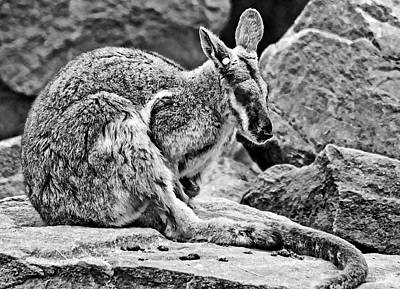 Photograph - Rock Wallaby Napping by Miroslava Jurcik