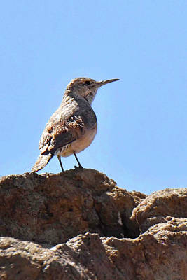 Photograph - Rock Wren by Alan Lenk