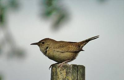 Photograph - Rock Wren British Columbia by Barbara St Jean