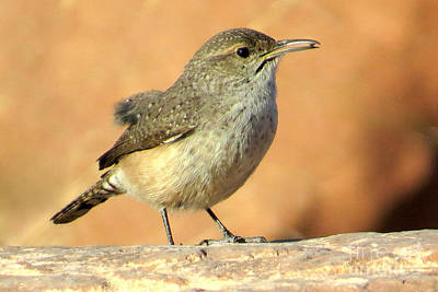 Photograph - Rock Wren by Frank Townsley