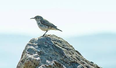 Photograph - Rock Wren  by Rick Mosher