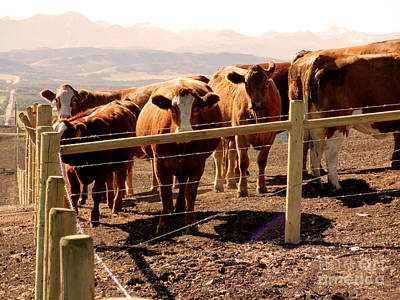 Rockies Cattle Country Art Print