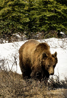 Photograph - Rockies Grizzly by Louise Magno