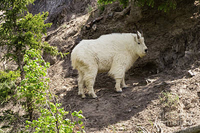 Photograph - Rockies Mt Goat by Louise Magno