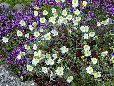 Photograph - Rockrose And Thyme by Phil Banks