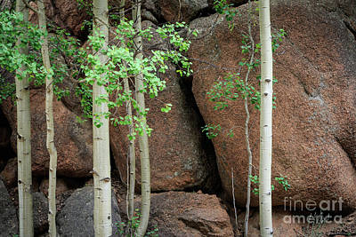 Photograph - Rocks And Aspens by Richard Smith