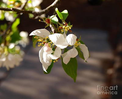 Photograph - Rocky Mountain Apple Blossoms I by Christine S Zipps
