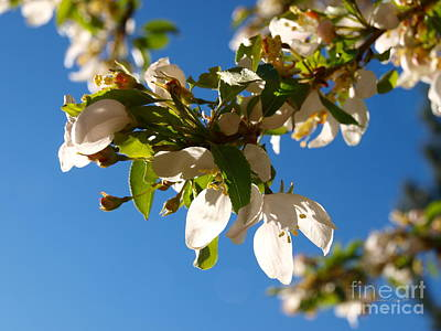 Photograph - Rocky Mountain Apple Blossoms II by Christine S Zipps