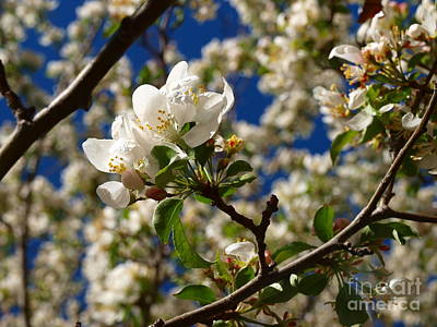 Photograph - Rocky Mountain Apple Blossoms IIi by Christine S Zipps