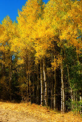 Rocky Mountain Aspen Color Print by James BO  Insogna