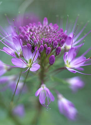 Cleome Photograph - Rocky Mountain Bee Plant Cleome by Tim Fitzharris