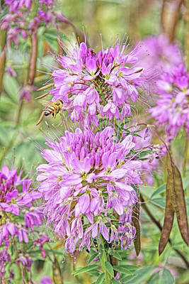 Photograph - Rocky Mountain Bee Plant by Jennie Marie Schell