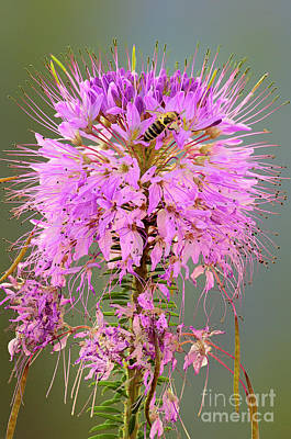 Photograph - Rocky Mountain Beeplant Cleome Serrulata And Honey Bee by Dave Welling