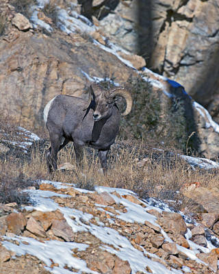 Ram Horn Photograph - Rocky Mountain Big Horn Ram  by Gary Langley