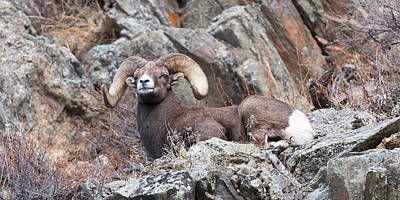 Ram Horn Photograph - Rocky Mountain Big Horn Ram On Watch by Gary Langley