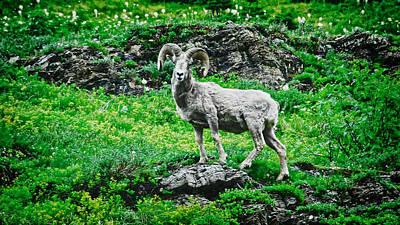 Photograph - Rocky Mountain Bighorn Sheep by Flying Z Photography by Zayne Diamond