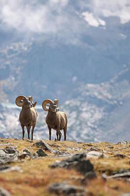 Photograph - Rocky Mountain Bighorn Brothers by Zach Rockvam