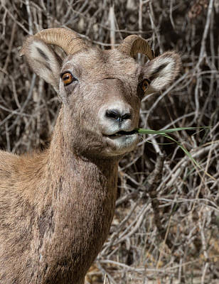 Photograph - Rocky Mountain Bighorn Ewe by Kathleen Bishop
