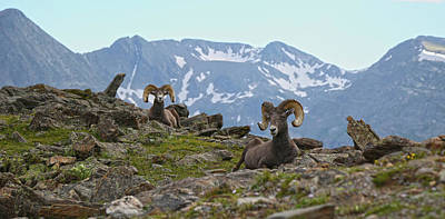 Photograph - Rocky Mountain Bighorn Panoramic by Zach Rockvam