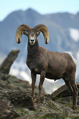 Photograph - Rocky Mountain Bighorn Stare Down by Zach Rockvam