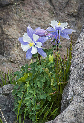 Photograph - Rocky Mountain Blue Columbine by Alan Toepfer