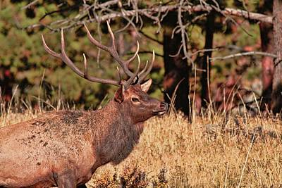 Photograph - Rocky Mountain Bull Elk by Dan Sproul