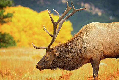 Typographic World Rights Managed Images - Rocky Mountain Bull Elk Royalty-Free Image by Greg Norrell