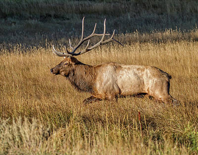 Photograph - Rocky Mountain Bull Elk by Ronald Lutz