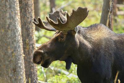 Photograph - Rocky Mountain Bull Moose by Zach Rockvam