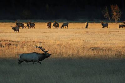 Photograph - Rocky Mountain Elk Herd at Sunrise by Zach Rockvam