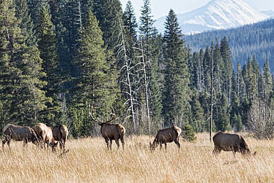 Photograph - Rocky Mountain Elk Herd by Bill Kesler