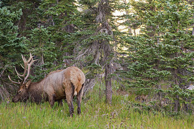 Photograph - Rocky Mountain Elk by Kunal Mehra