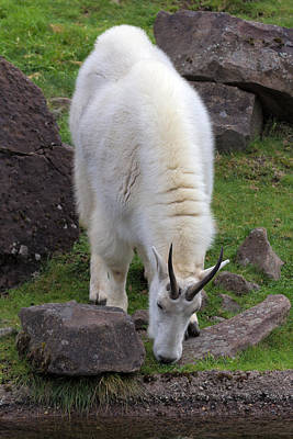 Animal Portraits - Rocky Mountain Goat Grazing by Jit Lim