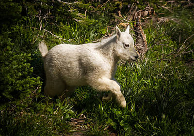 Photograph - Rocky Mountain Goat Kid Frolicking by Rikk Flohr