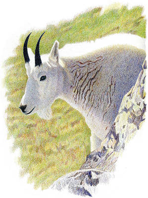 Mountain Goat Drawing - Rocky Mountain Goat Portrait by Dan Miller
