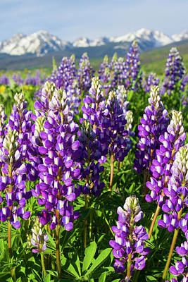 Rocky Mountain Lupines  Art Print by Aaron Spong