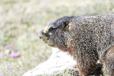Rocky In Spring Photograph - Rocky Mountain Marmot In Spring by Dan Sproul