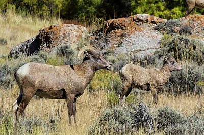Photograph - Rocky Mountain Ram With Lamb by Kathleen Bishop