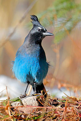 Photograph - Rocky Mountain Steller's Jay by Nicholas Blackwell