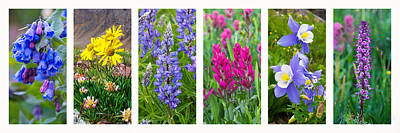 Photograph - Rocky Mountain Wildflower Collection by Aaron Spong