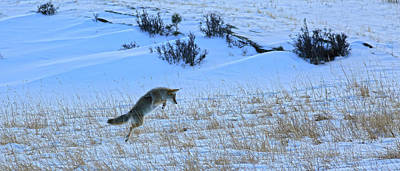 Photograph - Rocky Mountain Winter Coyote Jump by Zach Rockvam