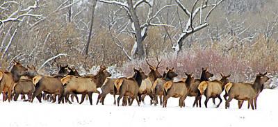 Rocky Mountain Winter Elk Art Print