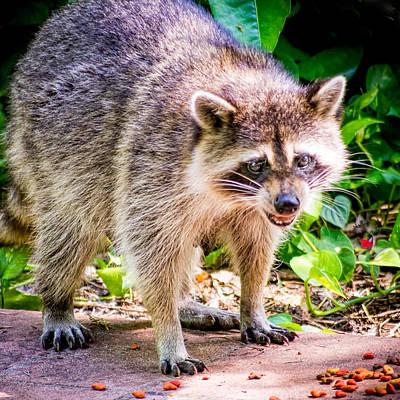 Photograph - Rocky Raccoon by Robin Zygelman
