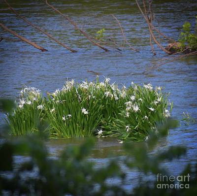 Photograph - Rocky Shoals Spider Lilies by Skip Willits