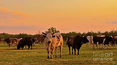 Rodeo Bulls At Dawn Original by Gus McCrea