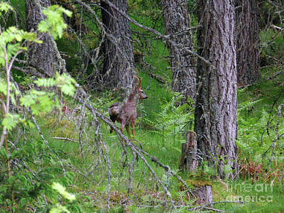 Photograph - Roe Buck - Still by Phil Banks