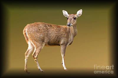 Photograph - Roe Deer by Charuhas Images