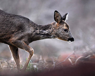 Photograph - Roe Deer by Gavin Macrae