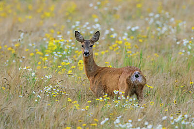 Photograph - Roe Deer In Summer by Arterra Picture Library